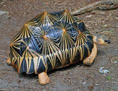 Radiated Tortoise from Madagascar. It has a unique high-domed carapace marked with yellow lines in a triangular shape. Animals And Pets, Cute Animals, Animals Beautiful, Nature Animals, Turtle Images, Tortoise Turtle, Turtle Reptile, Tortoise Shell, Carapace