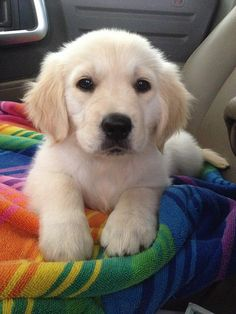 "Golden Retriever Pup ~ Classic ""Button Nose"" Look  More Pet Gifts: http://www.damniwantit.net/category/pets/"