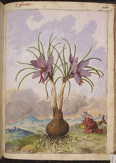 Crocus sativus, from De Materia Medica, a work on herbal medicine by Pedanius Dioscorides, 16th century edition. It depicts a wide range of plants against a backdrop of landscapes, often featuring populated scenes. Watercolour