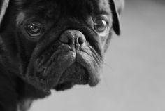Black and White Pug Shot #pugs