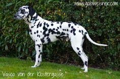 Vasco von der Klostergasse mit einem Hundehalsband aus Leder in 4-reihig