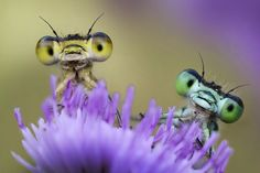 Photographer Alberto Ghizzi Panizza, 38, spotted these vividly coloured damselflies in the dew as he walked across a flood plain early one morning. Struck by their cute poses, he took the shots shortly after dawn as they rested on wild flowers. Mr Panizza, from Palma, Italy, took the photos near the River Po in the Po Valley.  Solent News.