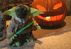 "Pug Yoda. ""pooped in the floor I have."" HAH!"