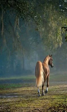 Misty morning stroll for this beautiful golden colored horse.