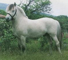 The Colours of the Norwegian Fjordhorse