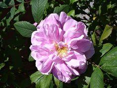 Deer Proof Rosa Rugosa Hybrids: Five Rugous Roses for Deer Free Gardens Sunset Landscape, Garden, Flowers, Plants, People, Canada, Garten, Lawn And Garden, Gardens
