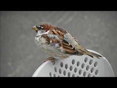 Varpunen Bird, Animals, Animales, Animaux, Birds, Animal, Animais