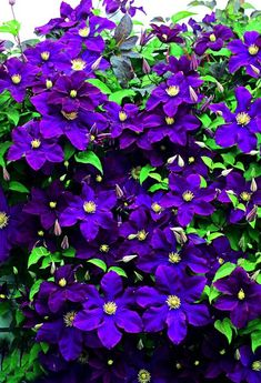 Clematis flower... https://www.facebook.com/My.Garden.Of.Flowers/photos/pcb.2133861903511165/2133861716844517/?type=3&theater