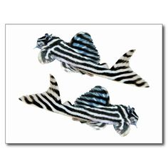 """The superior product """"of Imperial Zebra Pleco"""""""