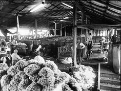 A shearing shed in Australia around 1900's