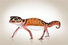 Smooth Knobtail Gecko (Nephrurus levis levis) curling its tail in a threat display.  Photo: Shannon Wild
