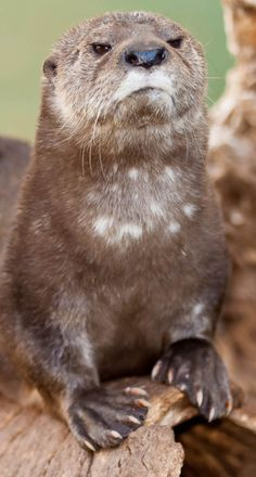 maggielovesotters:  kaycliffcenter:  Disapproving Otter. http://ift.tt/1p8UNWy  That's one haughty otter.