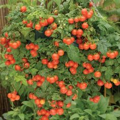 How to grow tomatoes in baskets.  http://www.vegetable-garden-guide.com/how-to-grow-tomatoes.html