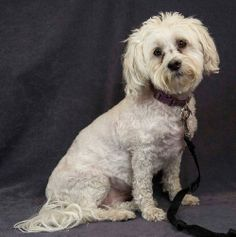 Haupia Maltese & Bichon Frise Mix • Adult • Female • Small Yolo County SPCA Davis, CA  Was a service Dog for an autistic child. 6 yrs old http://www.petfinder.com/petdetail/27207123/