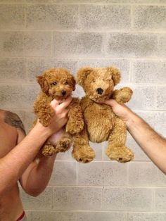 golden doodle vs. teddy bear.- oh! This is too cute, I want to cuddle with it.