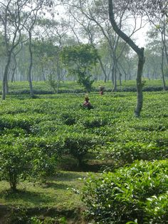 Tea estate - Sreemongal Bangladesh; work force is dominated almost entirely by women, often with kids.