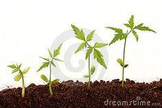 Todas las semillas necesitan agua, oxígeno, y una temperatura apropiada para germinar. Algunas semillas también requieren luz apropiada. Algunas germinan mejor con luz total mientras que otras requieren oscuridad para germinar. Cuando una semilla se expone a las condiciones apropiadas, agua y oxígeno son tomados a través de la cáscara de la semilla. -Ana Gaby Gonzalez 29/04/15