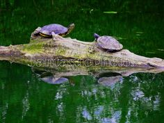 Turtle: Photograph of pair of turtles on a log. by JantasticPhotos
