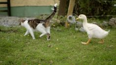 A Momma Cat and Her Yellow, Feathered Kittens. see it on youtube. she's mothered them since they hatched