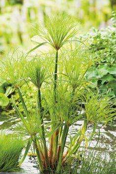 papyrus pflanze im topf garden ideas pinterest pflanze t pfchen und pflanzen. Black Bedroom Furniture Sets. Home Design Ideas