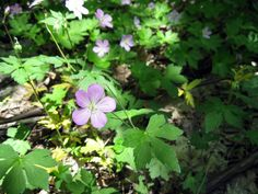 Wild Geranium can be found at both Indian Point Park and Hogback Ridge Park now through April 20. http://lakemetroparks.com/select-park/wildflowersinbloom#home