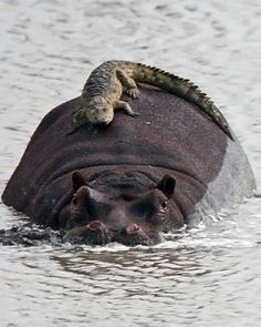 A baby crocodile climbed on top of a hippo mistaking it for a rock. Even after the hippo moved, the crocodile stayed on for 15 mins before climbing off Photo by Richard Miller Kruger National Park, South Africa Beautiful Creatures, Animals Beautiful, Reptiles, Mammals, Lizards, Amphibians, Funny Animals, Cute Animals, Safari Animals