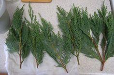 Plant Propagation: Leyland Cypress Cuttings