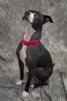 Diesel is an adoptable pit bull terrier searching for a forever family near Waynesboro, PA. Use Petfinder to find adoptable pets in your area.