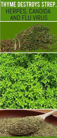Another member of the labiatae, or mint, family, thyme is an herb native to the Mediterranean basin and comes in many varieties. There is only one plant, thymus vulgaris, but the composition of the oil distilled from the plant shows variations in chemical components based on the location or region the plant grows in, despite…Read More+ #ColdRemedies