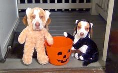 "Sweet Beagles' Halloween Is Destroyed By Strange Hooman ""Treats"""