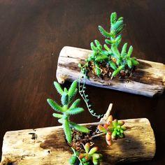 流木&多肉植物
