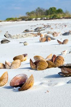 Gorgeous Caladesi Island State Park Near Tampa Florida – look at all of those cockle shells! Tampa Florida, Florida Vacation, Florida Travel, Florida Beaches, Vacation Spots, Travel Usa, Vacation Places, Honeymoon Island Florida, Dunedin Florida