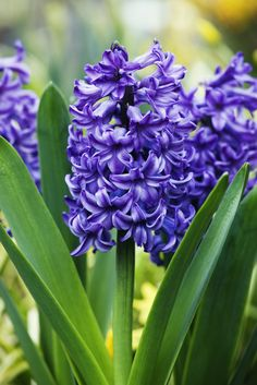 "Owing its origin to the myth of Apollo and Hyacinthus (the former accidentally killed the latter), the purple version of this bloom means ""please forgive me.""   - HouseBeautiful.com"