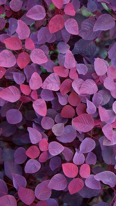 Violet Leafs iPhone Wallpaper