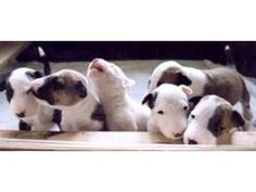 Pit Bull Puppies - love the white one singing or howling?
