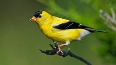 Get To Know Your Goldfinches | National Audubon Society