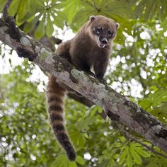 13.4 тыс. отметок «Нравится», 307 комментариев — National Geographic Creative (@natgeocreative) в Instagram: «Do you know a wildlife expert? Challenge them to identify this furry, tree-loving creature from…»