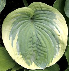 """Hosta 'Cuyahoga' - Wide, rounded leaves like blue-green moons are edged with a golden ring. As the season progresses they change to dark green with a creamy white edging. Size: 20"""" tall, 41"""" wide. Plant zones: 3-9."""