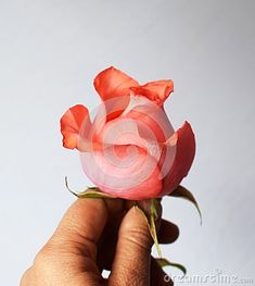 Photo about A hand, give a pink rose. Image of mother, give, woman - 111745717 Mother Images, Rose, Flowers, Plants, Pink, Pictures, Plant, Roses, Royal Icing Flowers