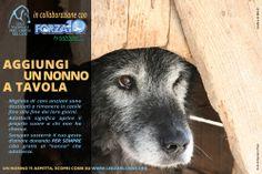 """""""Aggiungi un nonno a tavola"""" - Lega del Cane e SANYPet-Forza 10 in favore dell'adozione dei #cani #anziani ospiti dei #canili   #campagne 2013 - 2014   Chi adotterà un cane over 10 da un Rifugio della Lega Nazionale per la Difesa del Cane entro il 31 marzo 2014 riceverà una fornitura di cibo di qualità gratis e a domicilio per tutta la vita del """"nonno"""" adottato."""