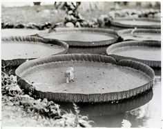 A kitten aboard a floating Victoria water lily pad in the Philippines, 1935. PHOTOGRAPH BY ALFRED T. PALMER,