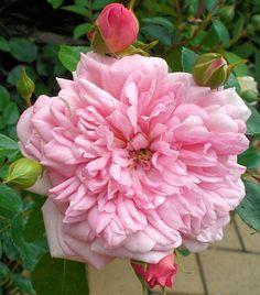 Hybrid Wichurana Rambling Rose: Rosa 'Francois Juranville' (France, 1906)