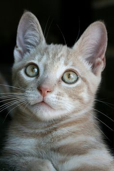 """""""A cat is a tiger that is fed by hand."""" --British Proverb"""
