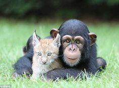 Wildcat Lynx and Chimpanzee Become Best Of Friends! We primates have always loved our cats!