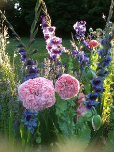 Pavot à fleurs de pivoine et glaieuls dans le aprc