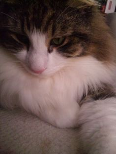 Not my Fenway, but enough like him to count. Norwegian Forest Cats