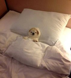 Little Chihuahua ready for bed - a place to love dogs (Sorry cant help but laugh a little.) So cute! Cute Puppies, Cute Dogs, Dogs And Puppies, Doggies, Baby Dogs, Cute Baby Animals, Funny Animals, Animal Memes, Animal Pictures