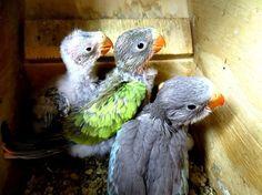 Photo by danikatz Gold Coast Queensland, Queensland Australia, Wild Birds, Parrot, Wildlife, Princess, Live, Parrot Bird, Parrots