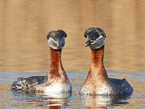 Red-necked Grebe Podiceps grisegena - Google Search
