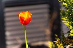 写真 チューリップ 202101 初夏な陽気になってきましたね #写真 #photo #花 #flower My Works